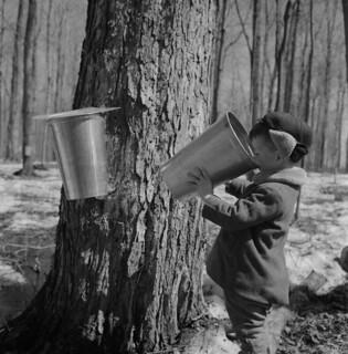 A young boy takes a sip from a bucket of maple sap / Jeune garçon buvant dans une chaudière d'eau d'érable