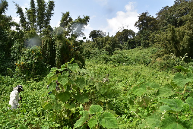Mountain Gorilla Trekking at Volcanoes National Park- Rwanda