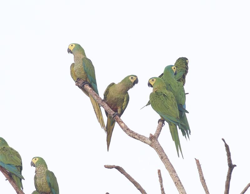 Red-bellied Macaw, Orthopsittaca manilata Ascanio_Peruvian Amazon 199A6312
