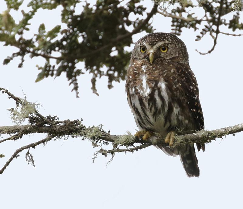 Andean Pygmy-Owl, Glaucidium jardinii Ascanio_Bogota Zcolombia 199A3453