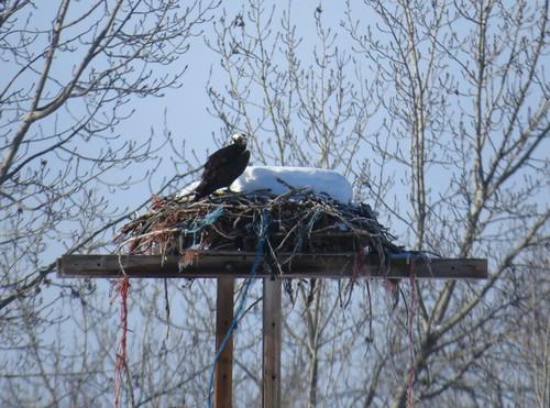 kevinlucas osprey pandionhaliaetus jeffkozma ospr nestplatform earlyarrival
