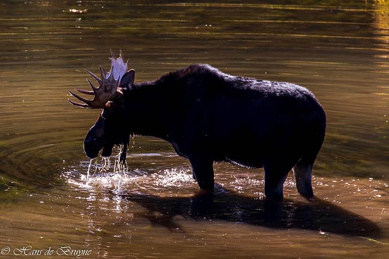 Moose at Moose Pond, Grand Teton NP