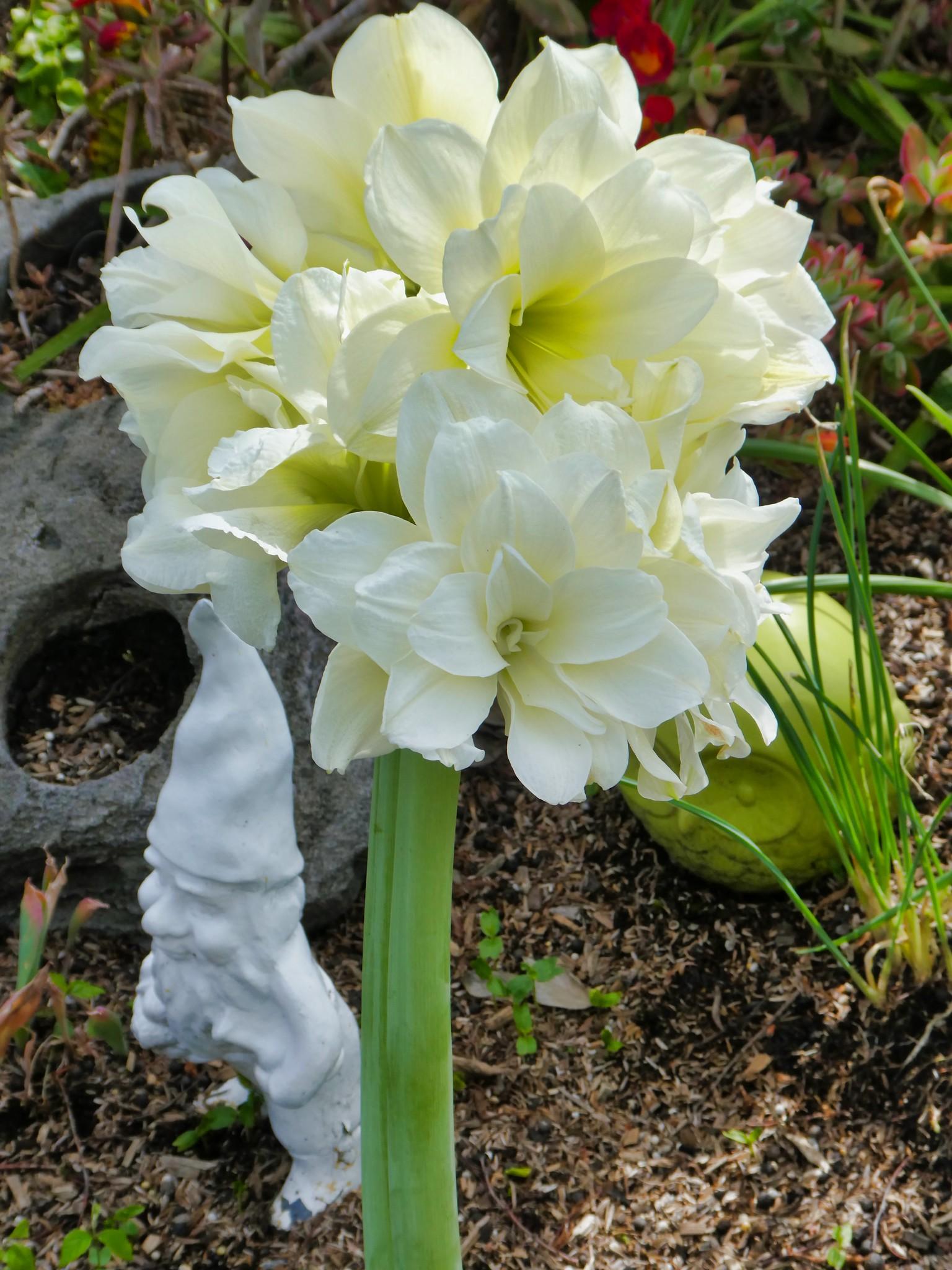 2019-03-24 - Nature Photography - Flowers - Amaryllis