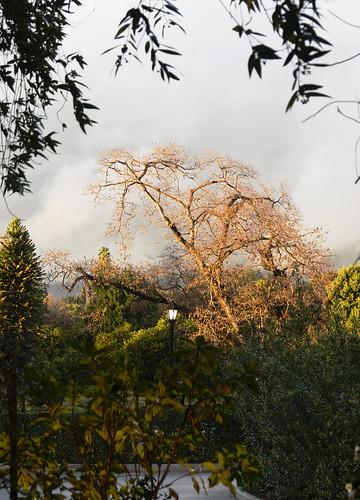 goldenhour silveryskies huntingtonlibraryandgardens tree