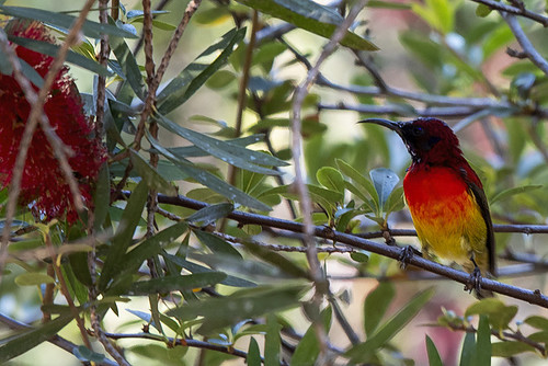 Doi Angkhang: Goulds Sunbird 7409