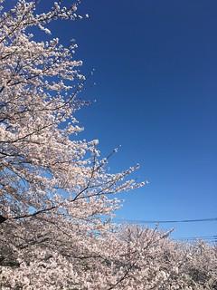 4月9日の桜
