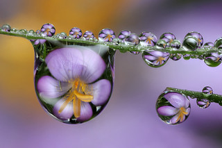 Crocus dewdrop refraction #2 | by Lord V