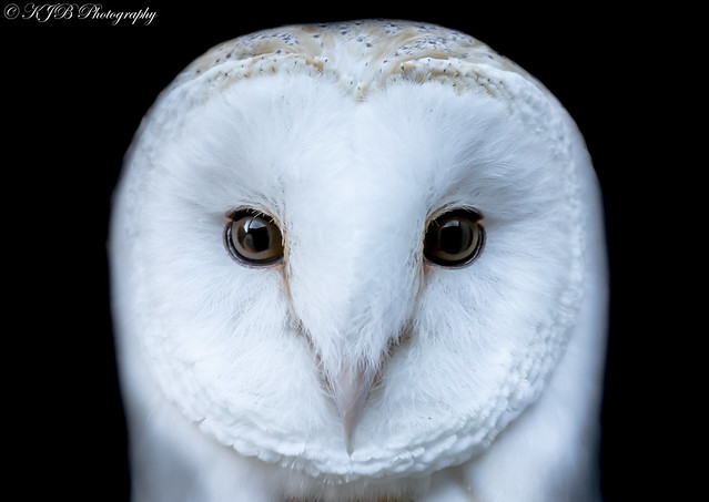 Barn Owl(Portrait)