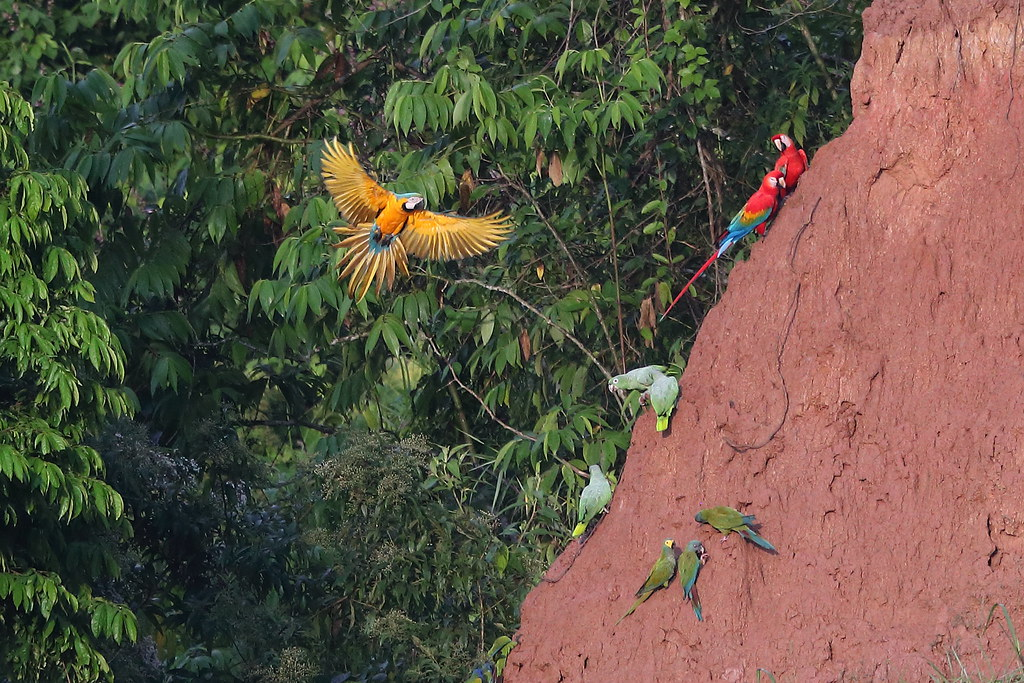 Blue-and-yellow Macaw & Scarlet Macaws