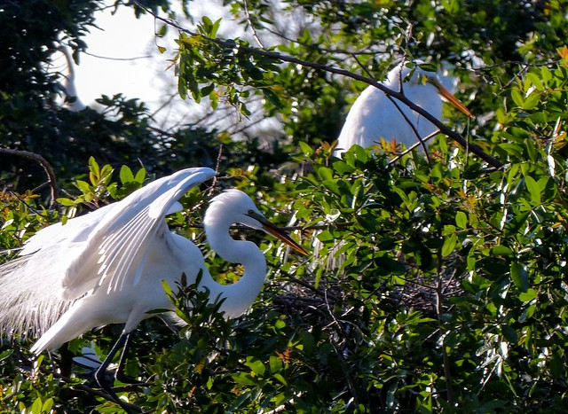 Two Great Egrets. --  L1130406~2