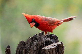 Northern cardinal | by njh1201