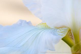 White Iris, 2.9.18 | by pattyoboe