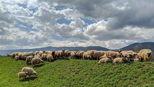 bosniahercegowina animalexploitation dykemaintenance sheep ilidža sarajevo bosniaandherzegovina ba