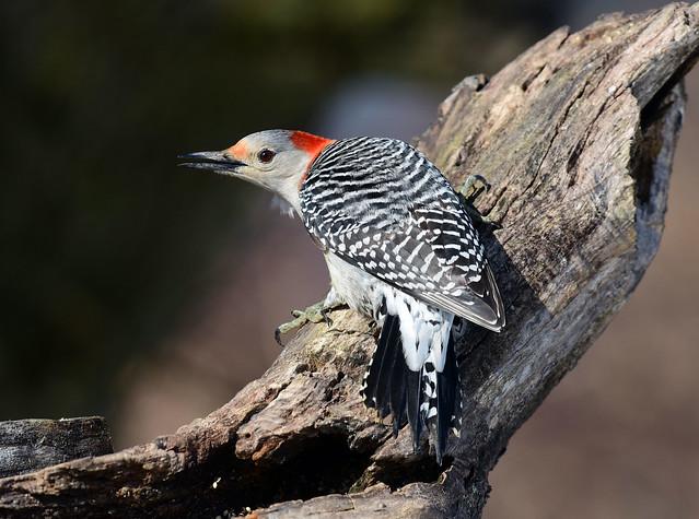 DSC_8312.Red-bellied Woodpecker