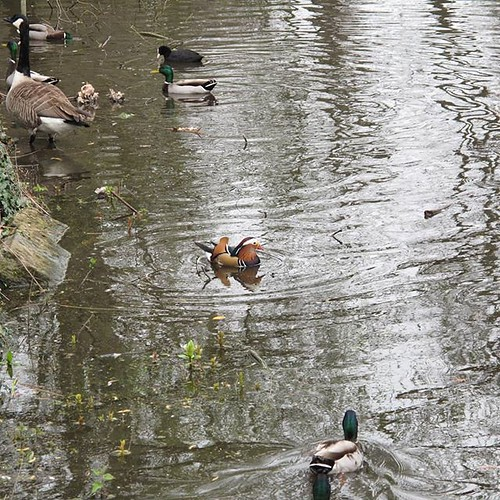 Mandarin duck amongst the regulars. | by avail