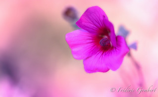 Pink , so Pink | by frederic.gombert