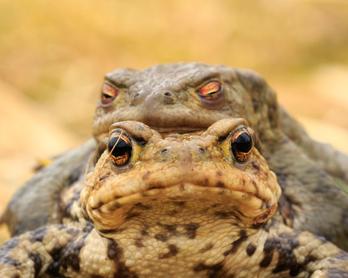Some thoughts on the Common Toad | by Andy Wakefield Photography