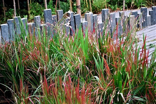 Imperata cylindrica 'Red Baron' 45816201914_d8dbb2a28f