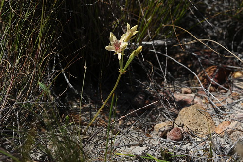 Pelargonium radiatum in habitat