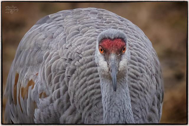 Portrait Of A Sandhill Crane III