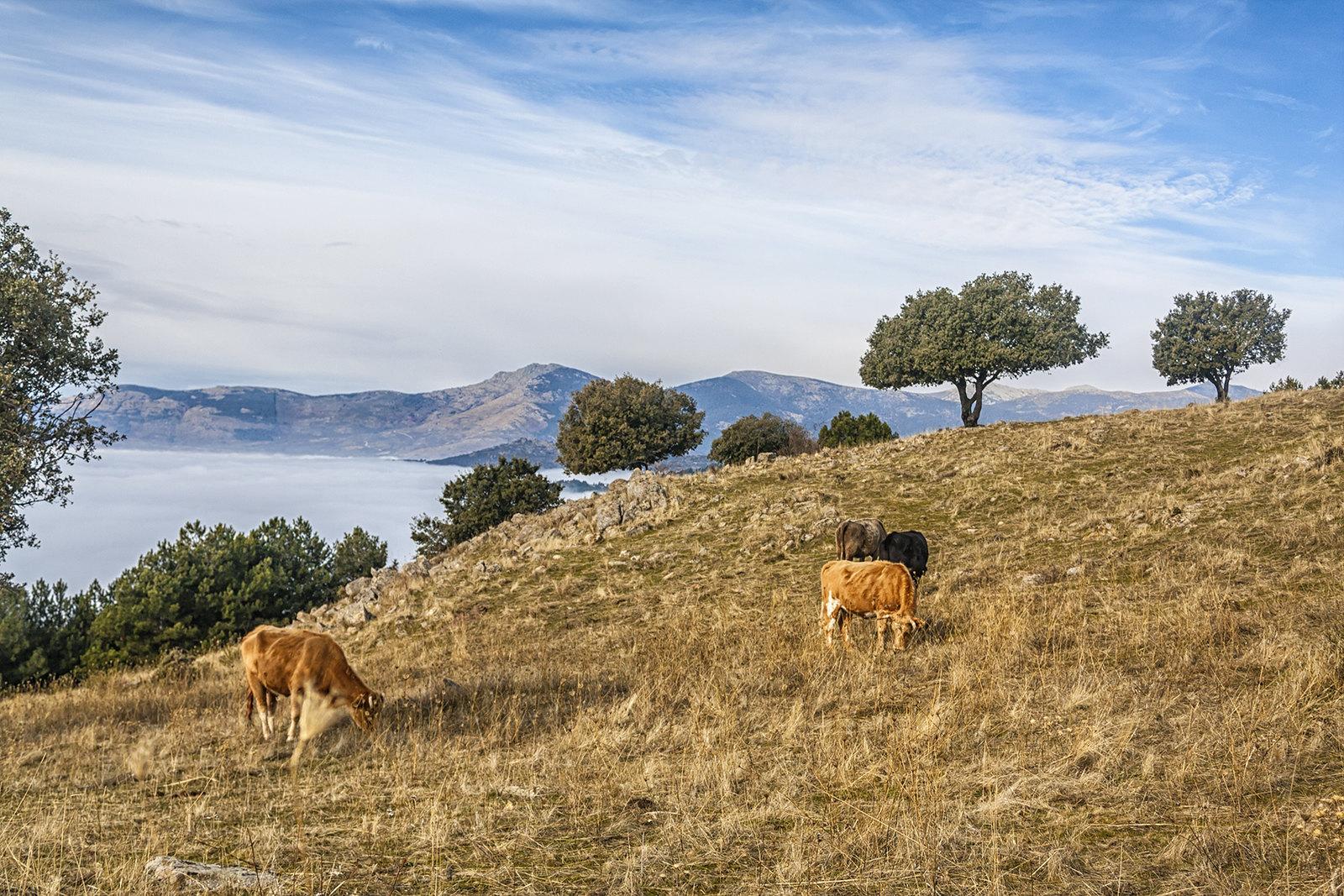 Vacas pastando sobre las nubes, por Sergio Pérez Algaba