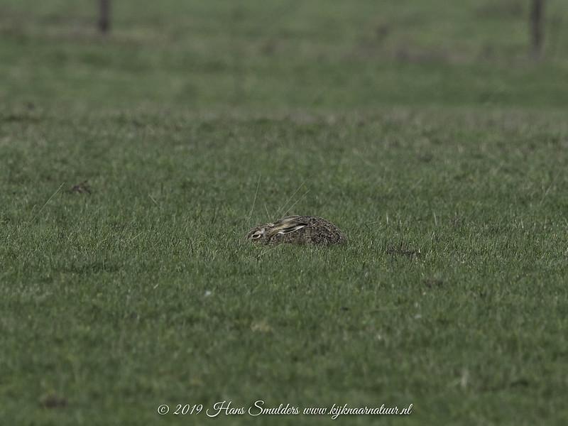 Haas (Lepus europaeus)-819_0302