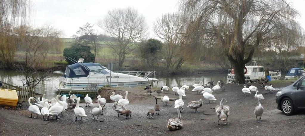 Swans near Wateringbury Yalding Circular