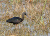 Glossy Ibis (Plegadis falcinellus) by Francisco Piedrahita