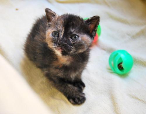 Narubi, gatita carey de cara bicolor amorosa esterilizada, nacida en Marzo´19, en adopción. Valencia RESERVADA. 46683992405_7a589bb6dc