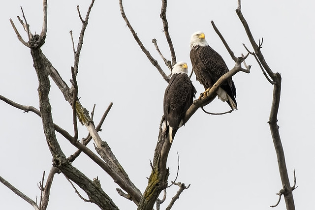 VA: Bald Eagles Keeping an Eye on the Potomac