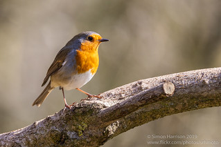 Robin - Erithacus Rubecula | by srhphoto
