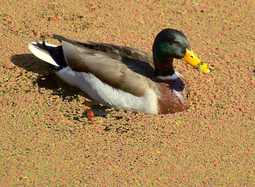 Duck with a messy beak | by Tony Worrall