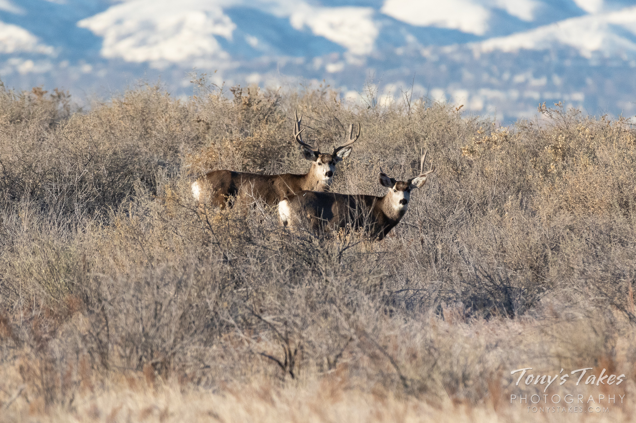 A pair of mule deer bucks pay close attention on the Colorado Front Range. (© Tony's Takes)