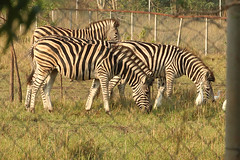 A long way from home, plains zebras in the Shai Hills Resource Reserve in Ghana