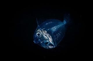 Blackwater translucent juvenile fish | by Luko GR