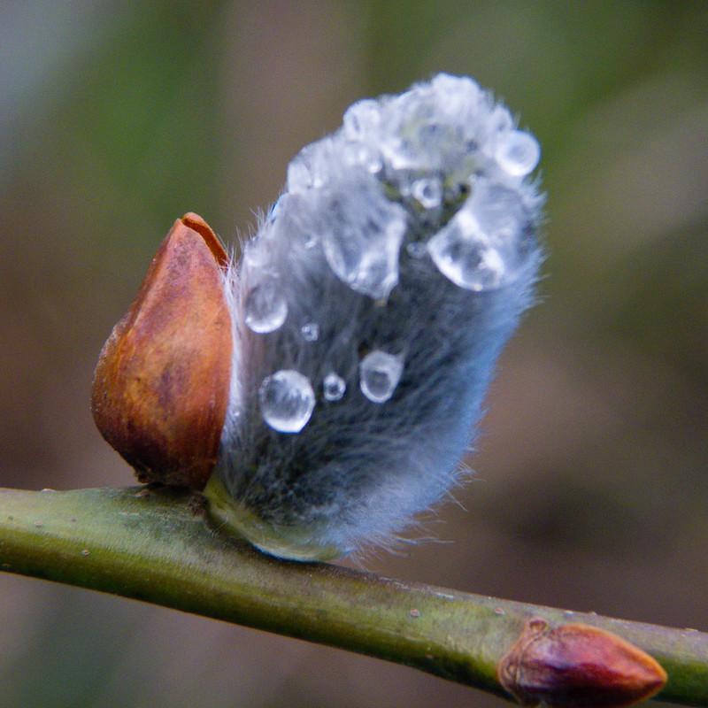Catkin, raindrops