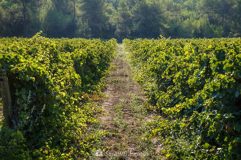 Contraste de luz y de color entre el viñedo y el bosque en la Fonteta de Viladellops