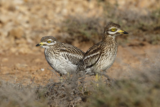 Stone Curlew | by Chris B@rlow