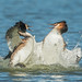 Great Crested Grebes , Battle by Andrew H Wildlife Images