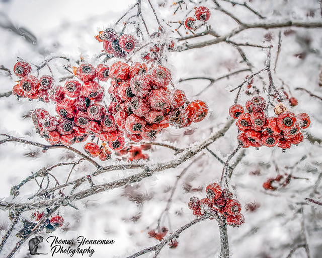 Frozen Red Huckleberrys