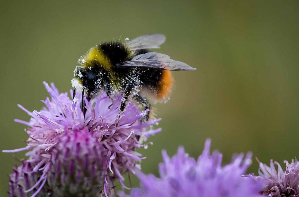 熊蜂。圖片來源:Smudge 9000(CC BY-NC-ND 2.0)