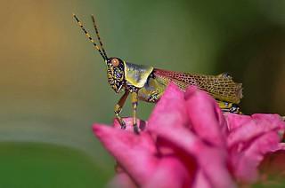 Colorful Locust | by noelcmn