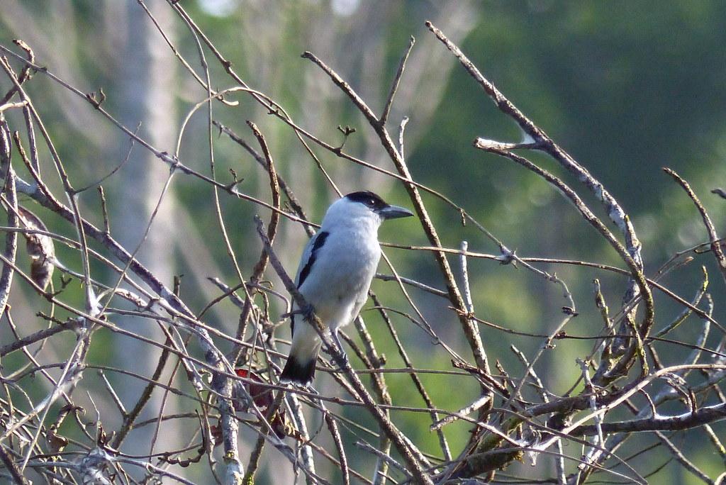 Black-crowned Tityra (Tityra inquisitor)