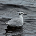 Flickr photo 'Bonaparte's Gull (Chroicocephalus philadelphia)' by: Mary Keim.