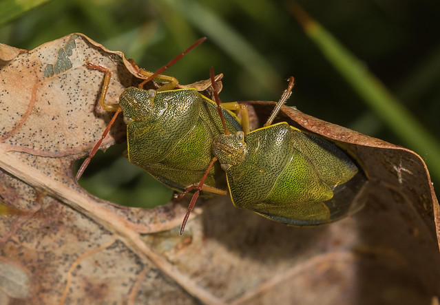 Gorse Shield bugs (explored)