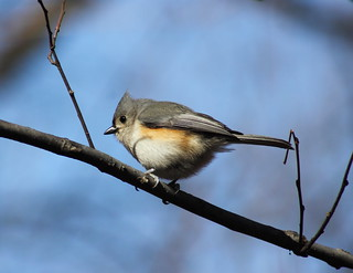 Tufted Titmouse | by Team Mozz
