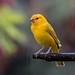 Saffron Finch by Wilmer Quiceno