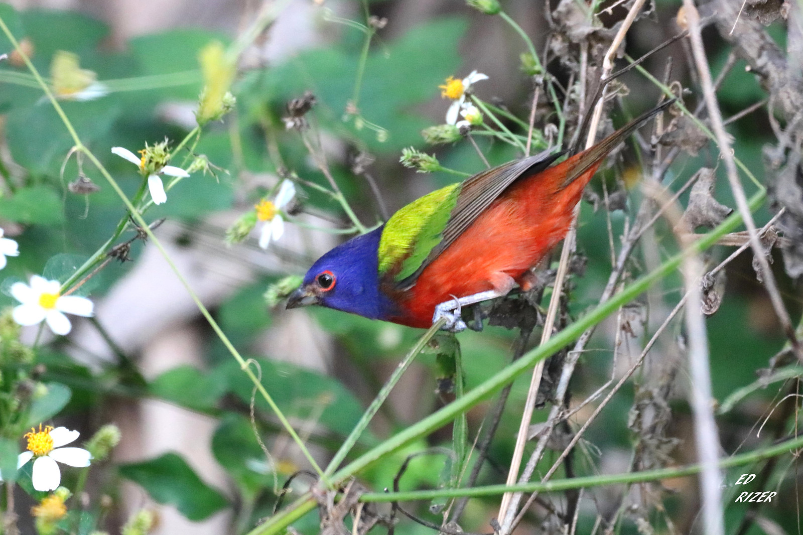 Hard to compare with the beauty of Pierre the PAINTED BUNTING, Lakeland, Florida