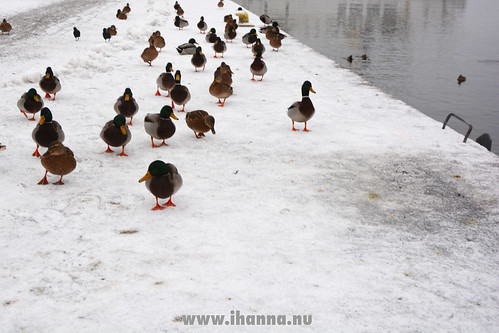 Ducks by the water | by iHanna
