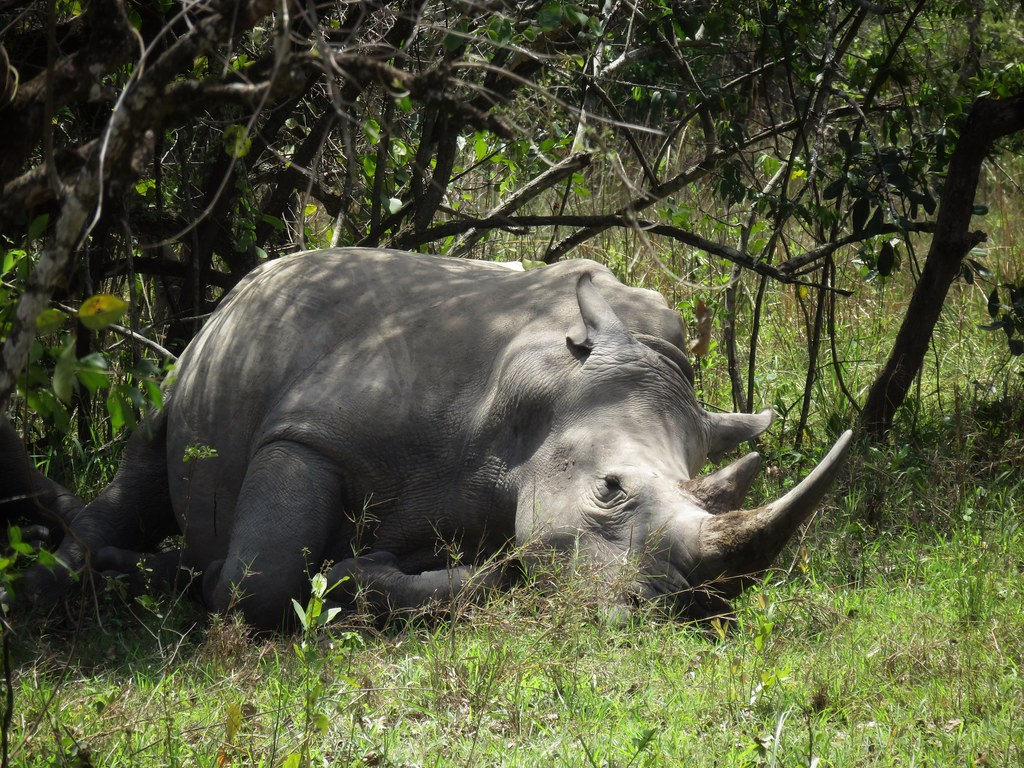 White rhino resting in the shade, Ziwa Rhino Sanctuary, Uganda